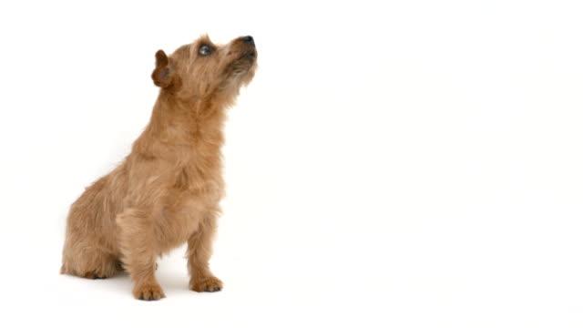 Hambre-Norfolk-Terrier-perro-4-K