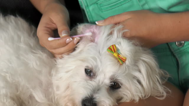 Woman-Pet-Owner-Cleaning-Ear-To-Dog-With-Cotton-Wool
