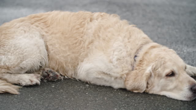 Obedient-Golden-Retriever-Dog