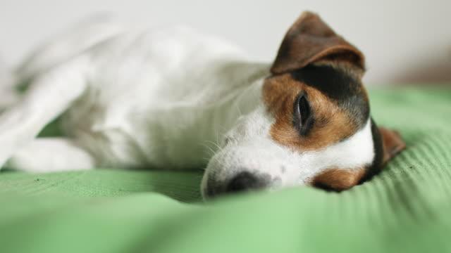 Jack-Russell-Terrier-acostado-en-la-cama