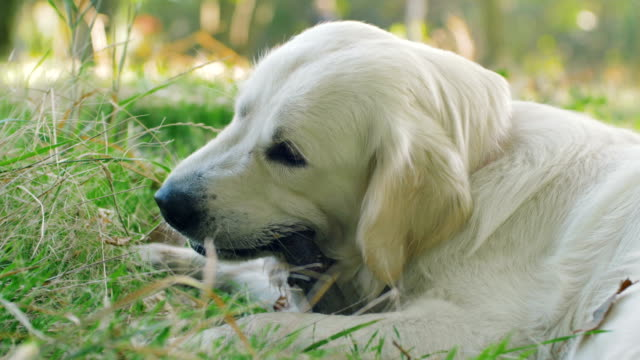 Cute-retriever-labrador-dog-gnawing-wooden-stick-in-park