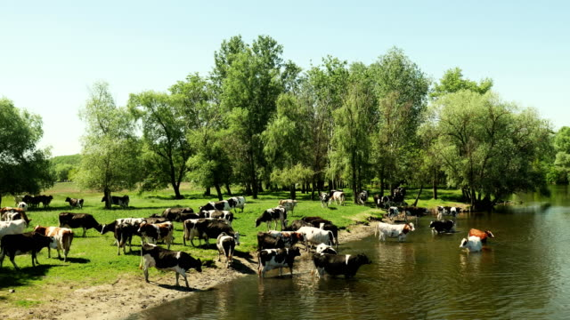 Herd-of-cows-in-the-river-on-a-watering-place