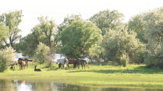Small-herd-of-horses-and-foals-grazing
