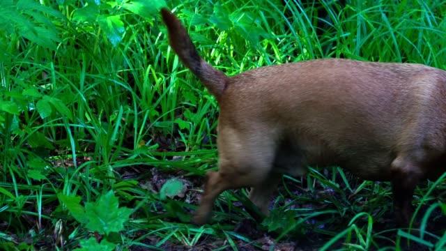 Un-pequeño-perro-pelirrojo-(la-raza-Dachshund)-rápidamente-cava-la-tierra-en-el-bosque-El-perro-tenía-un-instinto-de-caza-Ella-cava-un-agujero-para-llegar-a-la-presa-La-tierra-y-la-hierba-son-mojados-después-de-la-lluvia-Una-mañana-soleada-de-verano-en-el-bosque-