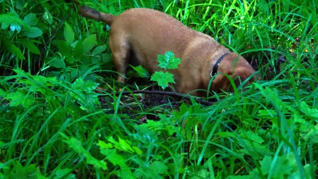 A-small-red-haired-dog-(the-Dachshund-breed)-quickly-digs-up-the-earth-in-the-forest-The-dog-had-a-hunting-instinct-She-digs-a-hole-to-get-to-the-prey-The-earth-and-grass-are-wet-after-rain-A-summer-sunny-morning-in-the-forest-