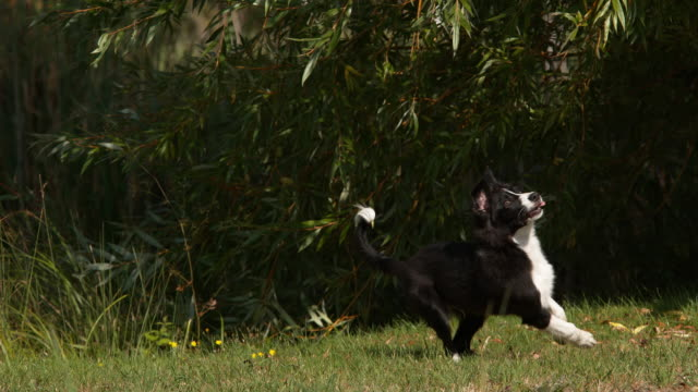 Border-Collie-Dog-Young-Male-Running-on-Grass-Normandy-Slow-Motiion-4K