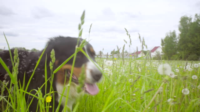 A-dog-walking-at-the-meadow