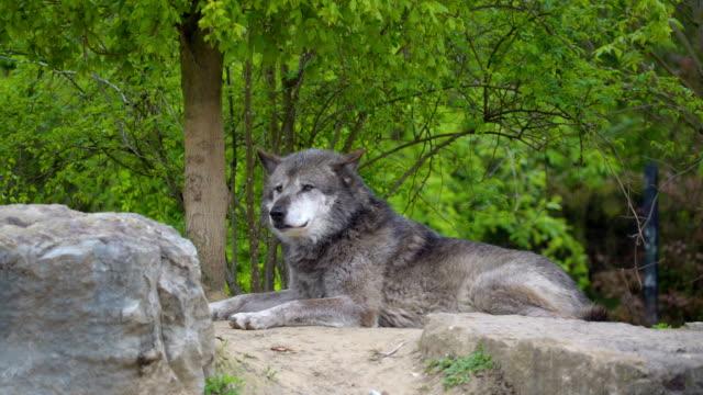 El-perro-grande-de-color-gris-sobre-la-roca