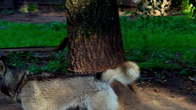 El-perro-de-la-raza-Husky-es-atado-con-una-cadena-a-un-árbol-Ladrido-de-perro-y-la-preocupación-como-la-alimentación-tiempo-enfoques-