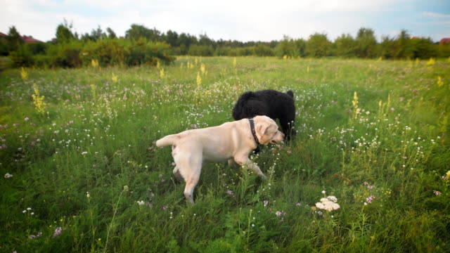 Two-dogs-happily-playing-on-the-grass