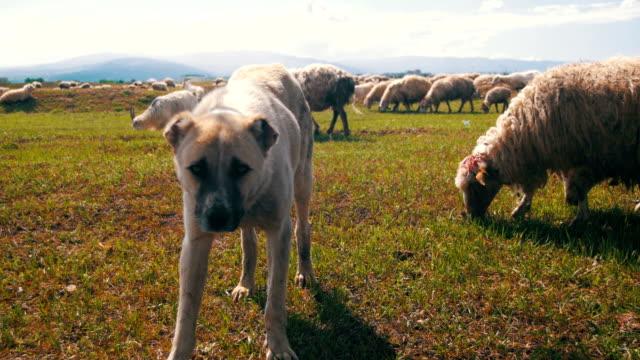 Perro-pastor-de-ovejas-en-pastoreo-en-el-campo