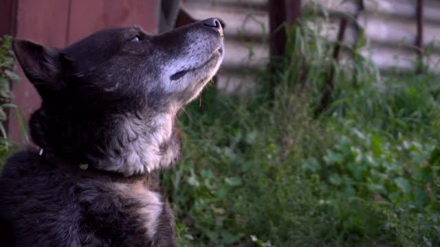 Funny-Guard-Dog-Face-