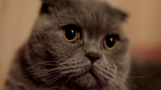 British-shorthair-cat-close-up