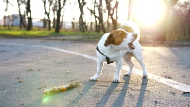Jack-Russell-terrier-ladridos-en-el-Parque