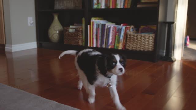 Tiro-de-cámara-lenta-de-un-cachorro-odorable-prancing-en-una-sala-de-estar-