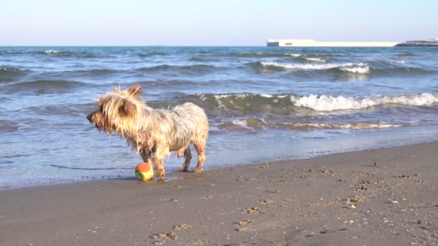 Dog-barking-asking-to-play-at-the-beach-with-ball