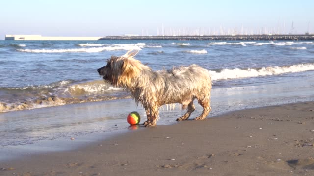 Happy-dog-at-the-beach-runs-and-fetches-ball
