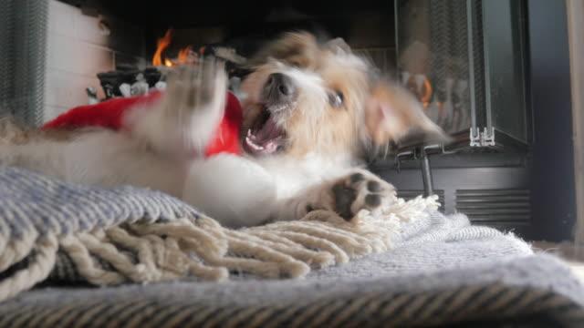 Ángulo-bajo-de-un-cachorro-de-Jack-Russell-Terrier-de-pelo-alambre-masticando-un-sombrero-de-Santa-en-4k