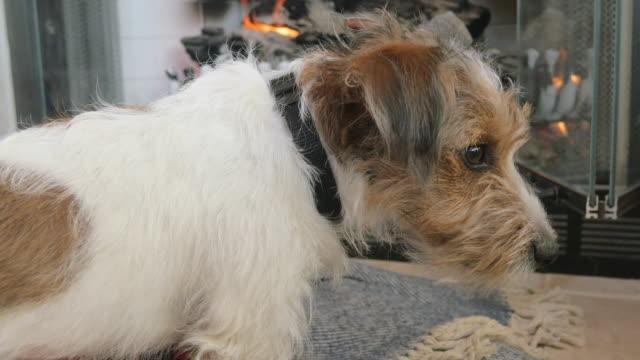 Cachorro-de-Jack-Russell-Terrier-pelo-de-alambre-da-vuelta-y-mira-en-la-cámara-4k
