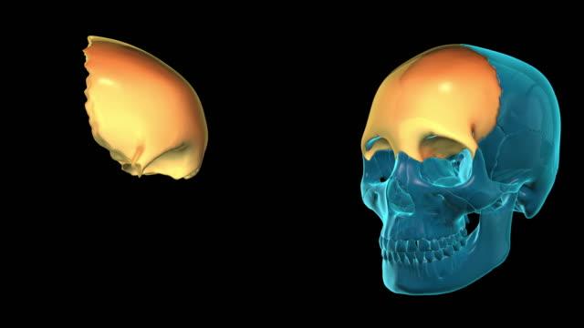 Frontal-Bone