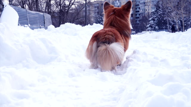 funny-corgi-fluffy-puppy-walking-outdoors-at-the-winter-day