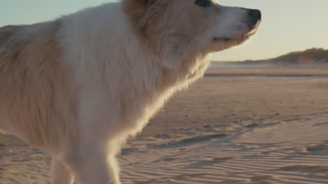 Dog-at-sunset-on-beach