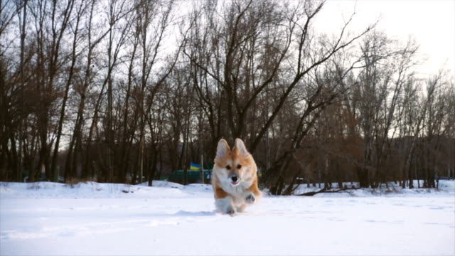 little-funny-corgi-fluffy-puppy-walking-outdoors-at-the-winter-day