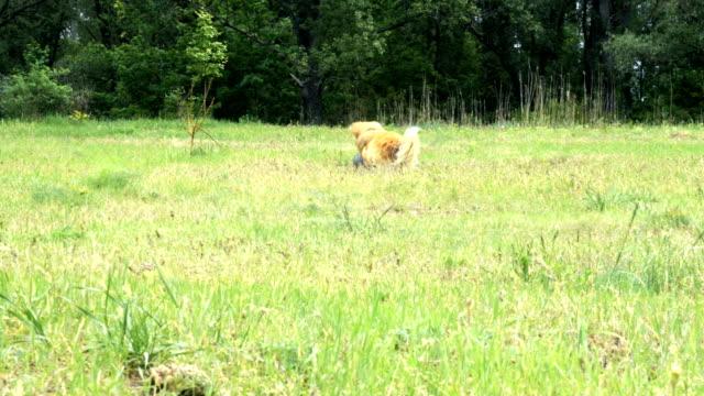 perro-mullido-corgi-divertido-jugando-con-el-exterior-de-la-bola