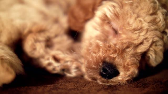 Sleeping-adorable-puppy-pet