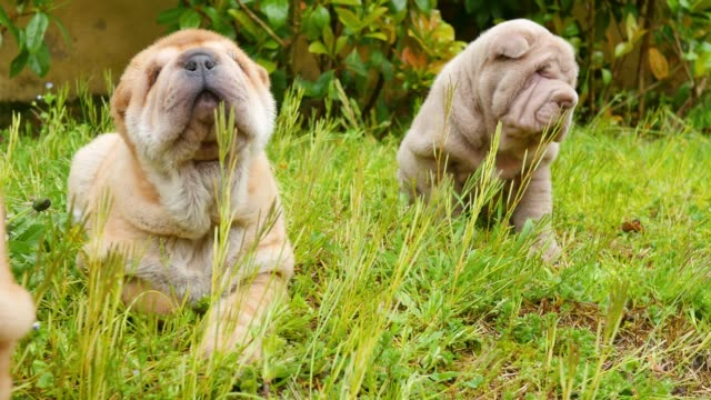Cachorros-de-Shar-Pei-jugando-en-el-jardín