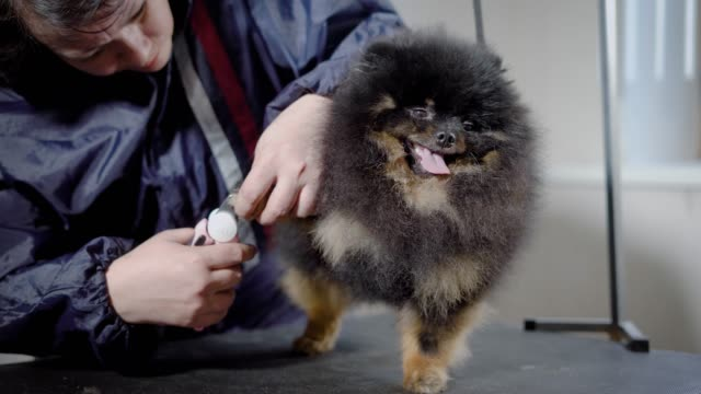 Female-grooming-cutting-nails-to-cute-little-spitz-indoor