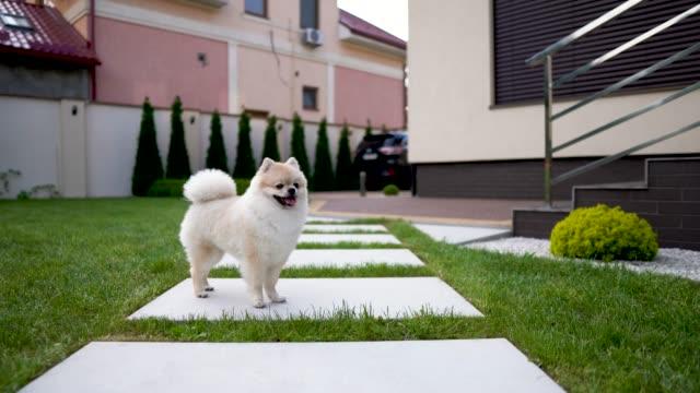 Eine-weiße-Creme-Pom-Hund-läuft-auf-eine-Kachel-auf-dem-Rasen-im-Garten-