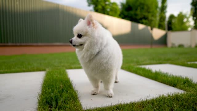 Nahaufnahme-der-kleinen-weißen-pommerschen-Hund-stehend-auf-der-Kachel-Hinterhof-