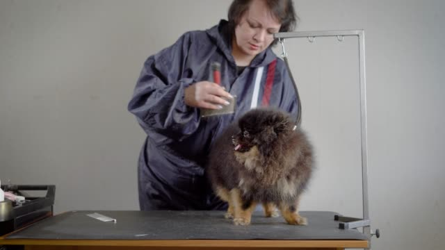 Female-groomer-shearing-small-dog-Woman-in-gray-jacket-making-hairstyle-for-dark-fluffy-pet-with-professional-equipment