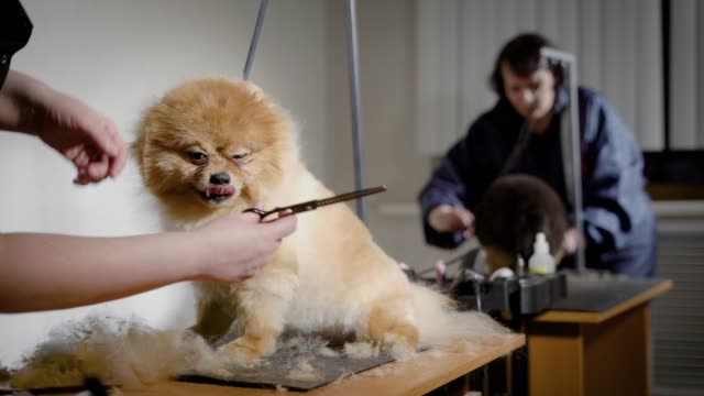 Groomer-work-process-with-dogs-Small-pretty-pets-waiting-new-hairstyle-in-studio-with-professional-equipment