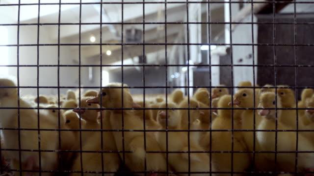 Multitud-de-patitos-en-la-jaula-en-la-granja-de-aves-de-corral