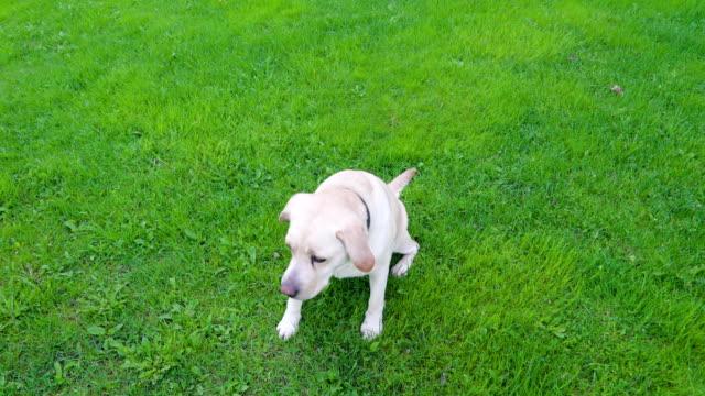 A-white-Labrador-retriever-dog-sitting-on-the-grasses