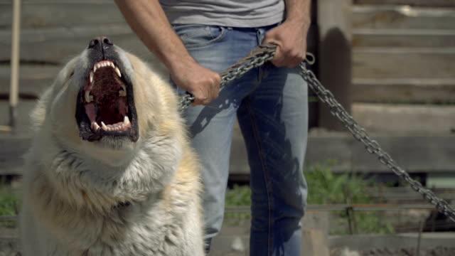 Perro-de-guardia-Perro-de-alabay