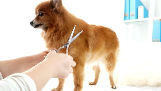 Woman-gives-Pomeranian-shears