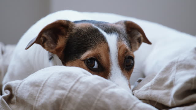 Jack-Russell-Terrier-lays-onlays-on-his-place