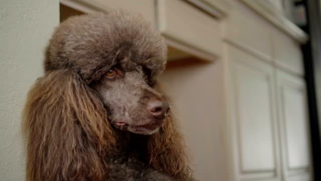 4K-Close-Up-Video-Portrait-Of-Brown-Poodle