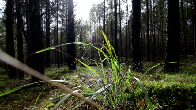 Flying-over-moss-across-the-grass-in-the-deep-pine-spruce-forest-in-sunny-beams