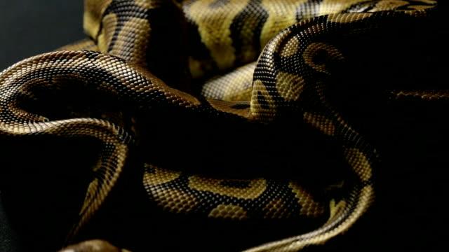 Piel-de-serpiente-de-dos-pitones-bola-sombra
