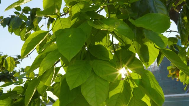comes-up-through-leaves-at-sunrise
