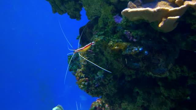 Alive-shrimp-in-the-water-in-4k-slow-motion-60fps