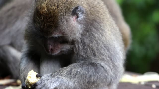 Monkey-Eating-Corn-1