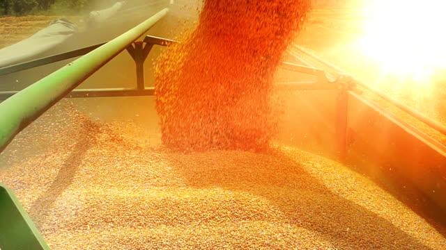 Cosechadora-trigo-descarga-máquina-segador