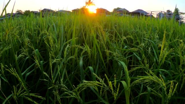 Rice-field-at-sunrise