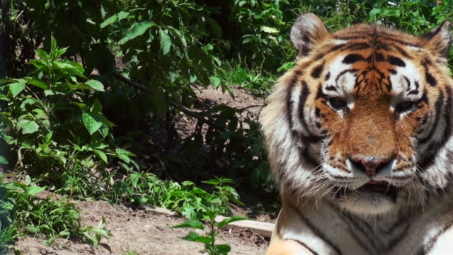 Tiger-im-Wald