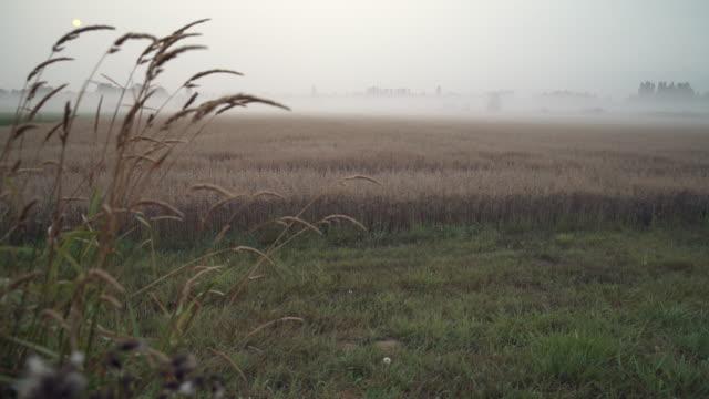 Campo-de-avena-mañana-niebla-4K-UHD